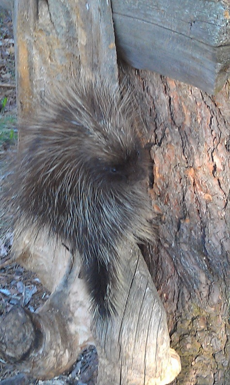 Little Porcupine visiting again.