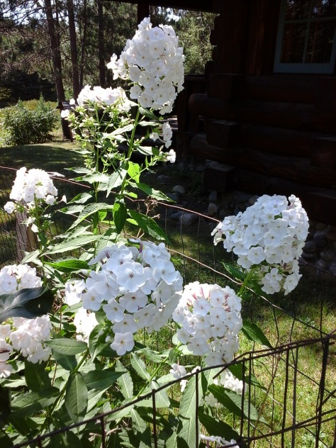 White phlox growing near the apple tree.